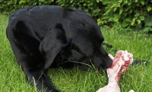 can puppies eat raw chicken bones