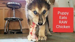 Puppies Eat Raw Chicken
